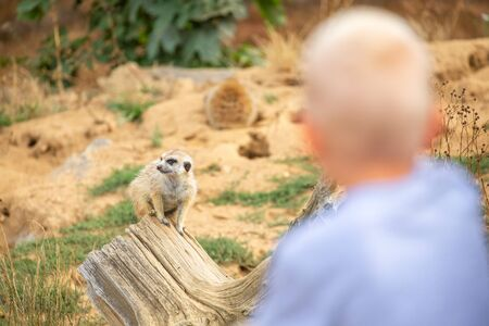 Little boy watching animal in the zoo. Suricata suricatta