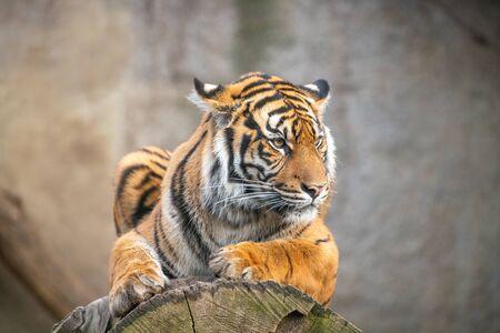 Sumatra tiger lying, wild animal