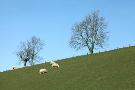 Flock of Sheep in a green meadow photo