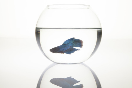 Fighter Fish in a Bowl photo