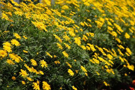 Yellow daisy field 写真素材