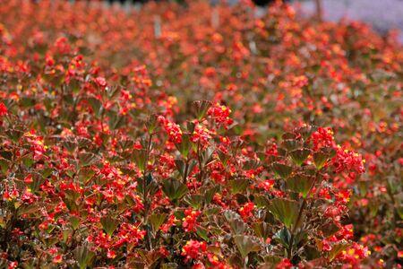 Flower red lavender garden