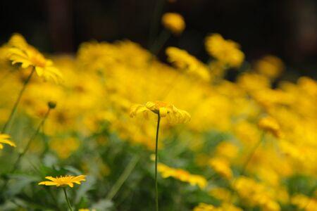 Yellow Daisy Flower 写真素材