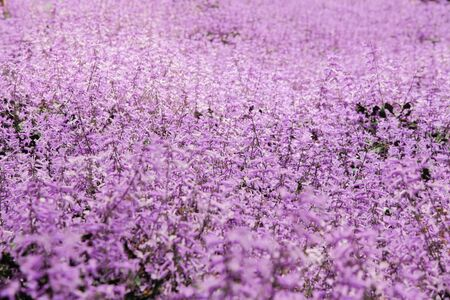 Lavender garden field wide