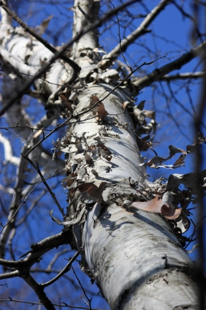 Birch tree trunk Stock Photo - 17360347