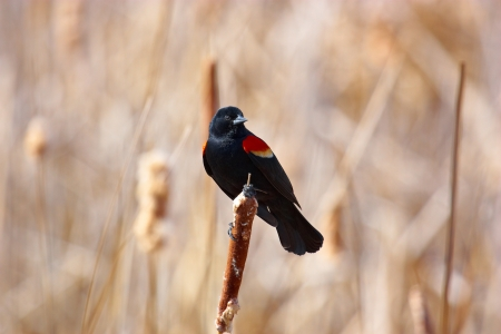 red winged: Red winged blackbird on cattail spike