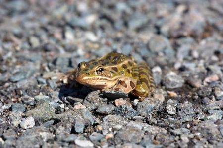 자갈에 개구리 스톡 콘텐츠 - 17360346