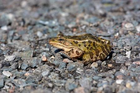 小石の上のカエル