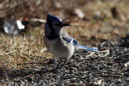 corvidae: Blue jay looking for insects and seeds