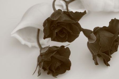 Roses with murex black and white Stock Photo - 2817012