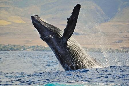 ballena azul: Rompiendo la ballena jorobada Foto de archivo