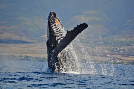 blue whale: Breaching Humpback Whale