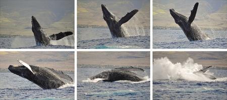 Une baleine � bosse br�che large des c�tes de Maui, Hawaii.