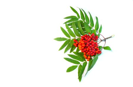 Bright rowan berries on green leaves of mountain ash, isolated. Banco de Imagens