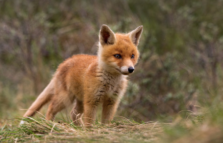 Red fox Cub Фото со стока