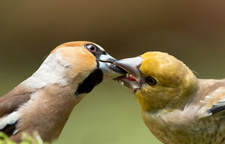 insectivores: Hawfinch (Coccothraustes coccothraustes) feeding a juvenile Stock Photo