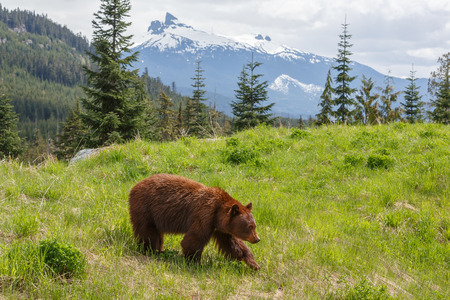 Brown colored black bear up in the mountains