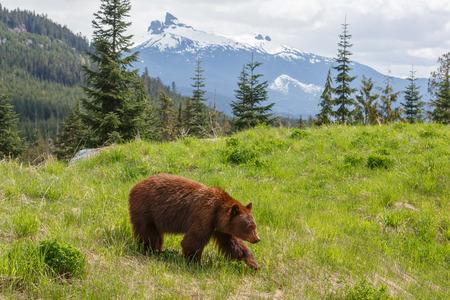 Bruin gekleurde zwarte beer in de bergen