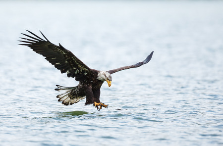 Bald Eagle im Flug