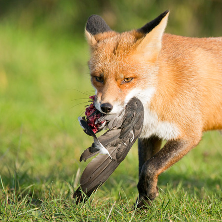 burrow: Red Fox with a prey  Stock Photo