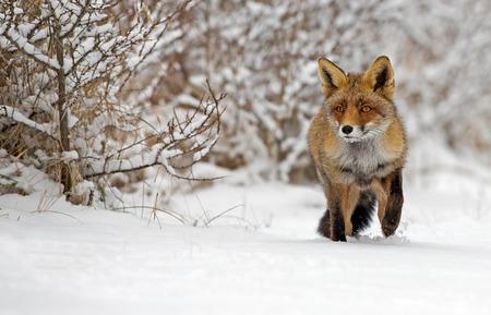 レッド フォックス ・ デ ・雪の中に立っています。