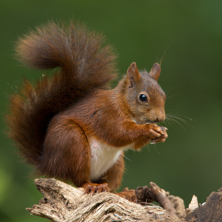 Red Squirrel eats a nut 스톡 콘텐츠