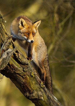 Red fox up in tree