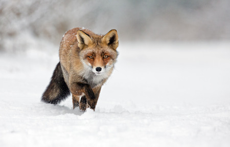 Red fox walking through the snow Imagens