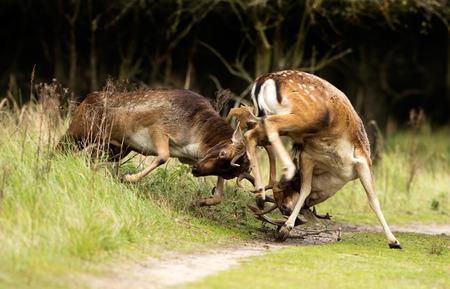 rutting: Fallow deer fighting during the rutting season