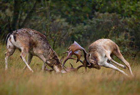 Fallow deer fighting during the rutting season