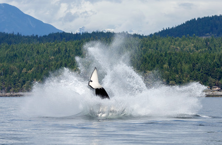 Jumping orca ore killer whale Stock Photo