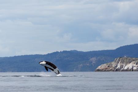 Springen orca Erz Killerwal Standard-Bild - 31105508