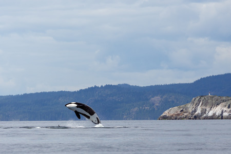 Jumping orca ore killer whale Stockfoto