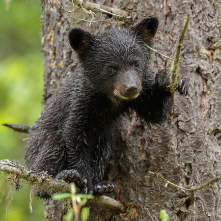 oso negro: Cachorro de oso negro en un árbol