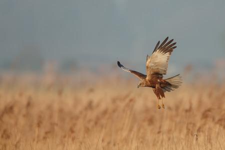 飛行中ヨーロッパチュウヒ