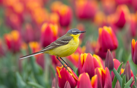 wagtail: Yellow Wagtail on Dutch tulips Stock Photo