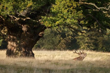 elaphus: Red deer lying under a tree in mating season