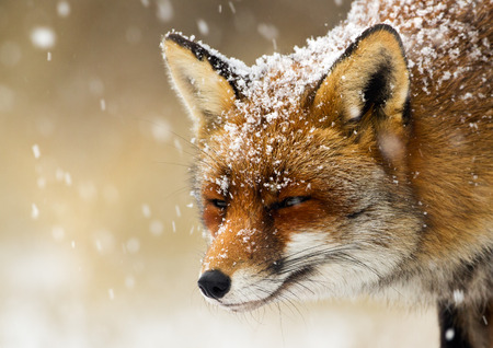 winter season: Red  fox winter portrait
