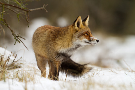 Red fox in wintertime in a white landscape