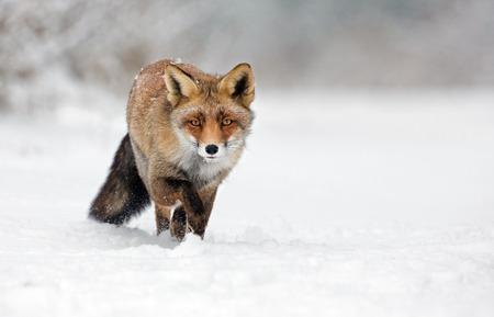雪の中を歩く赤い狐