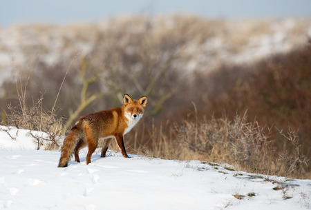 Red fox standing in a winter landscape 스톡 콘텐츠