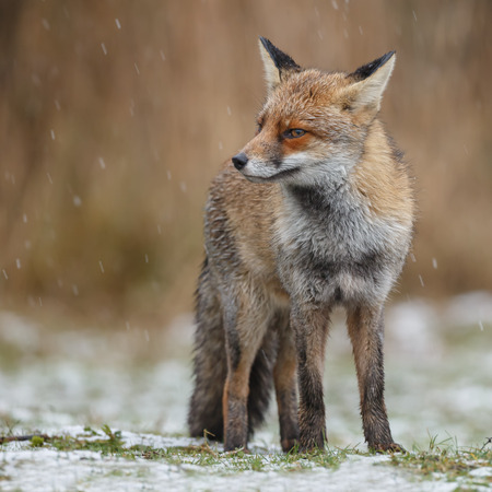Red fox standing in falling snow