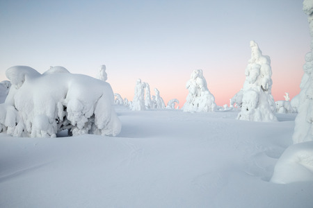 Snow covered trees at lapland Finland