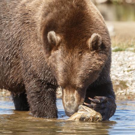 alaskan bear: Brown bear close up
