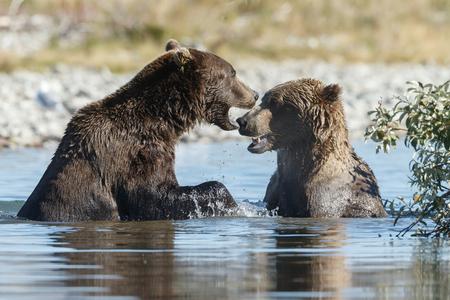 alaskan bear: Two brown bears fighting