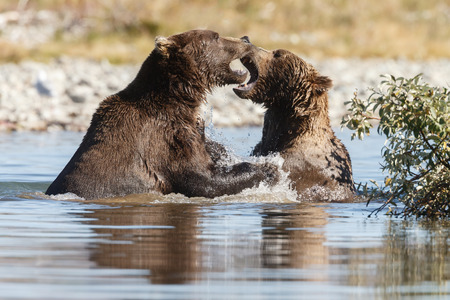 grizzly bear: Two brown bears fighting
