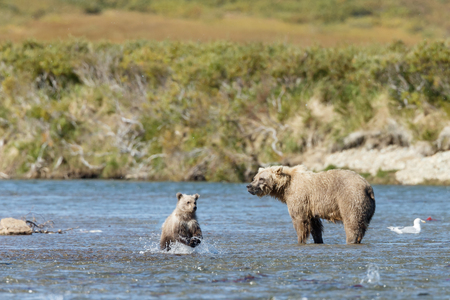 alaskan bear: Brown bear and her cub