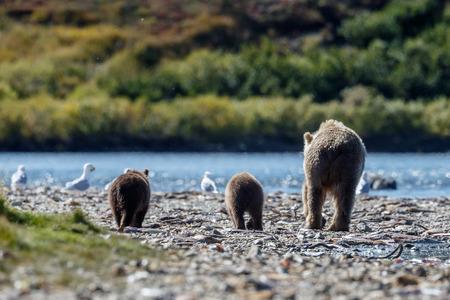 alaskan bear: Brown female bear and her cubs