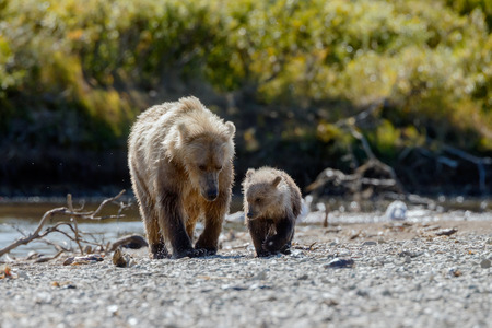 alaskan bear: Brown female bear and her cub