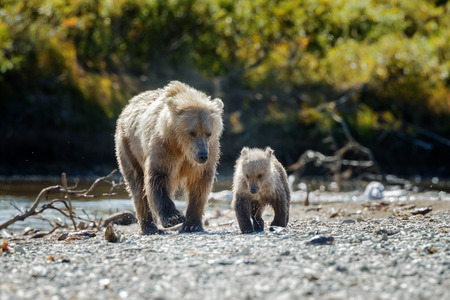 grizzly: ours femelle Brown et son petit